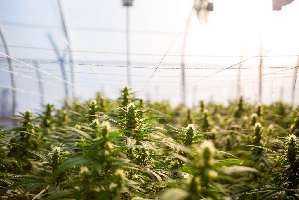 Cannabis In Deutschland Bald Legal